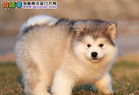 天津繁育阿拉斯加犬出售疫苗驱虫齐可签协议全国包邮
