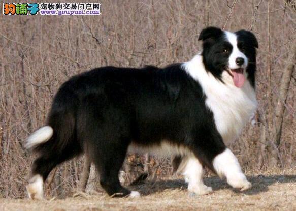 专业狗场繁殖边境牧羊犬幼犬 包纯种包养活 多只可选
