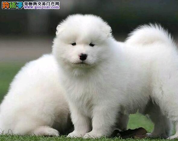 出售精品萨摩耶,CKU认证犬舍,可签保障协议
