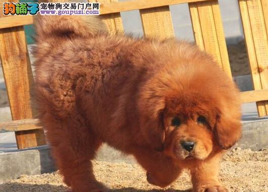 直销价格出售北京藏獒幼犬 疫苗做齐可办理血统证书