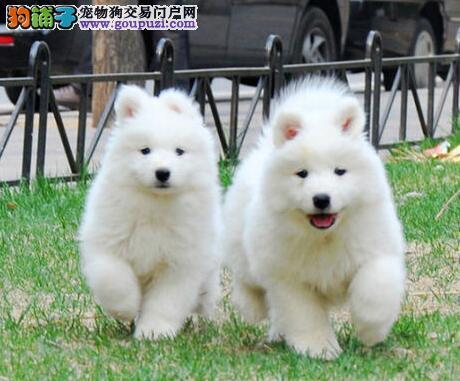 热销纯种健康萨摩耶 血统纯建议来贵阳直接看狗购买3