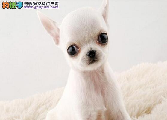转让完美品相的广州吉娃娃幼犬 爱狗人士优先选购