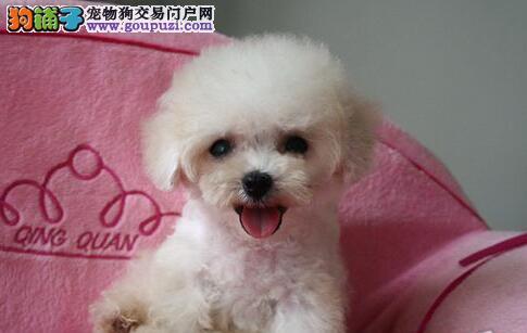 优秀品质泰迪犬郑州自家犬舍专业繁殖低价出售中