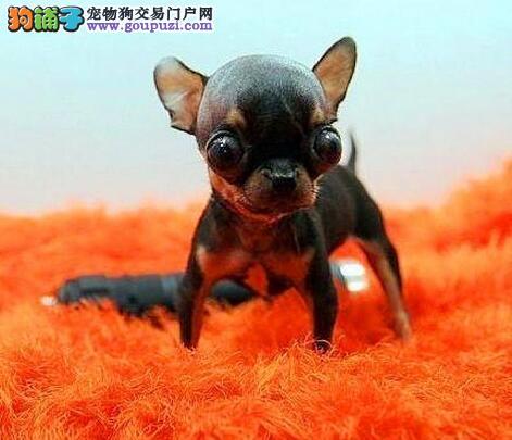 买吉娃娃幼犬-袖珍犬-实物拍摄-品质终身质保