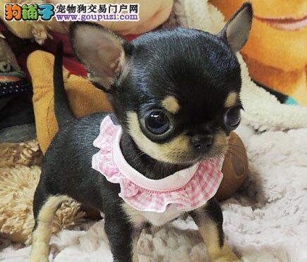 诚信经营 绝对健康 绝对纯种 重庆吉娃娃幼犬低价出售