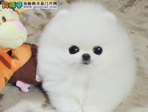 哈多利小体博美犬幼犬出售 上门特价 签协议一年可退换