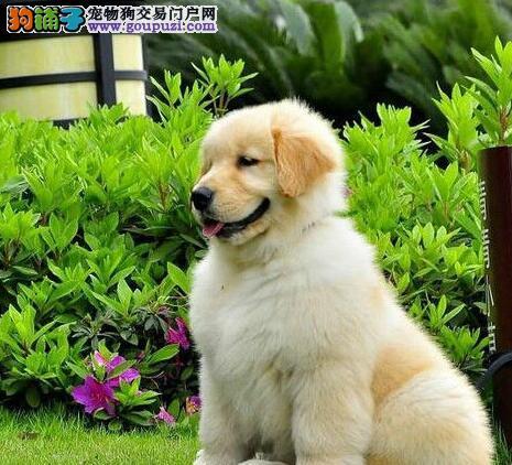 成都纯种金毛价格合理骨架大正规犬舍买放心宠物狗