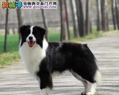 上海买纯种边牧犬签协议包纯种健康聪明边境牧羊犬幼犬
