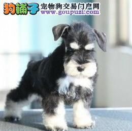 纯种可爱的太原雪纳瑞幼犬找新家 签订售后协议书