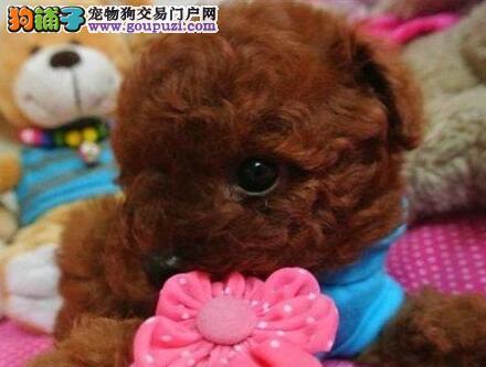 合肥出售纯种棕色泰迪熊 买泰迪犬的最佳选择品质好