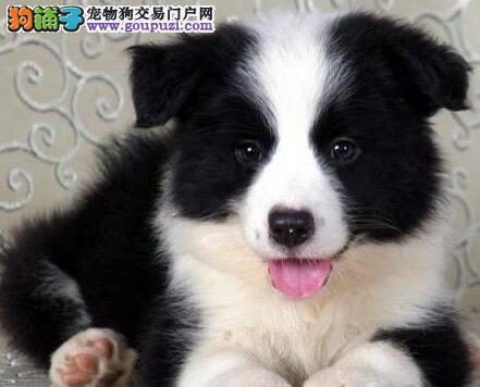 北京出售特价边牧喜迎春节边境牧羊犬转让疫苗驱虫已做