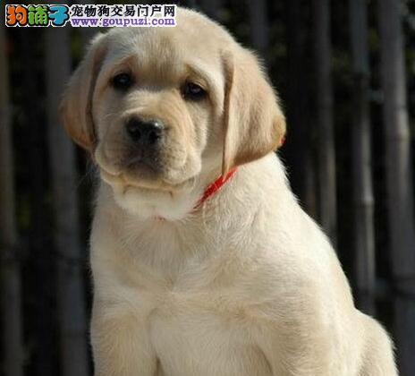 养殖基地直销好品质南京拉布拉多犬可保证血统