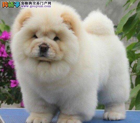 健康纯正松狮幼犬乌鲁木齐出售 多款颜色选择 签订协议