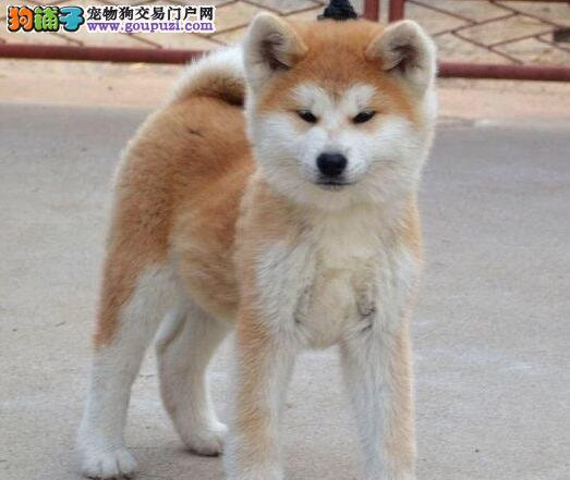 海南州养殖场直销完美品相的秋田犬欢迎实地挑选