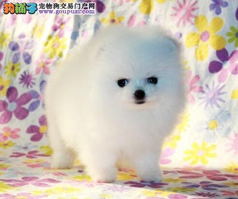 湘潭热销博美犬颜色齐全可见父母期待您的光临