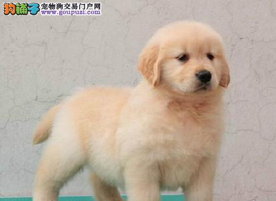 纯种金毛幼犬出售 大骨架多只可选 售后有保障 欢迎挑选3