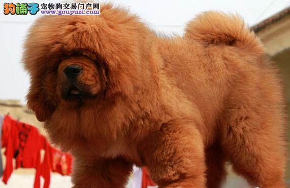 獒园出售高品质纯种藏獒狗狗幼犬雪獒红獒铁包金