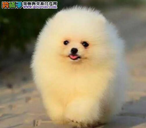 出售哈多利球形博美犬 签协议 包健康纯种 可上门看狗