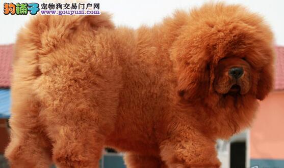精品纯种藏獒幼犬出售 狗场直销签合同质保性价比最高