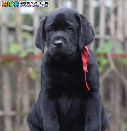 北京高品质拉布拉多犬温顺聪明大头版粗骨架拉布拉多
