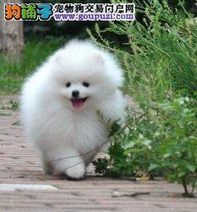 福州养殖场出售哈多利版博美犬 可提前接受预定