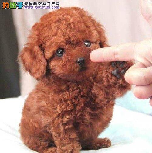 赣州繁育基地特价出售泰迪犬公母均有可挑选