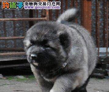 转让精品武汉高加索犬 大毛量身材魁梧最好的看家犬