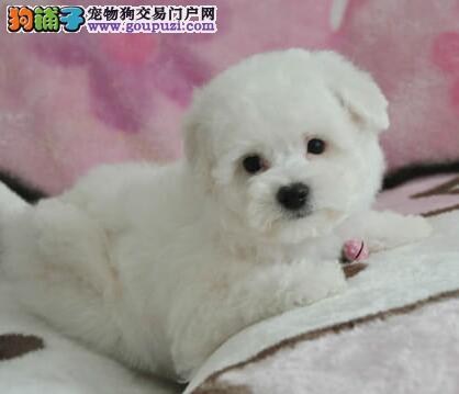 重庆纯种双血统比熊犬上门挑现场测健康包活3个月3