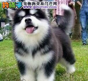 狗场促销成都熊版阿拉斯加犬 包纯包健康送用品