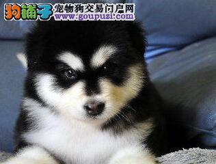 正宗双十字阿拉斯加雪橇犬杭州狗场热销 可接受预定