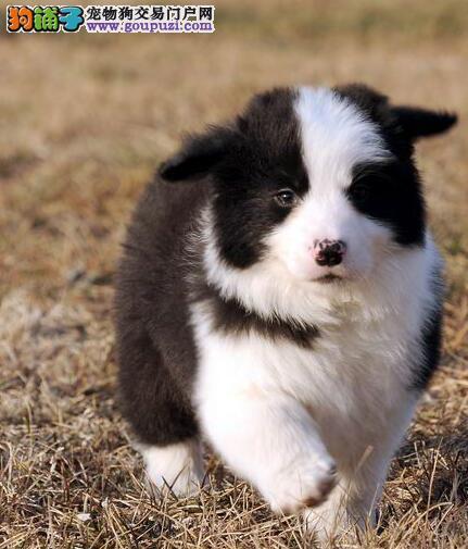 顶级优秀犬舍直销纯种郑州边境牧羊犬 多色可供挑选