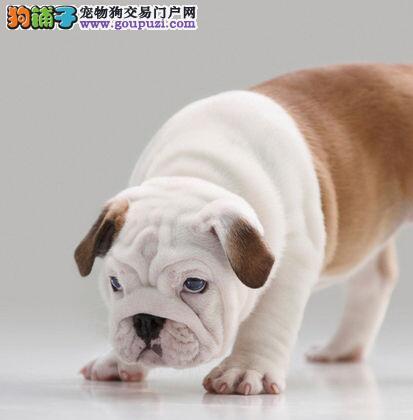 英国斗牛犬郑州最大的正规犬舍完美售后保证冠军级血统
