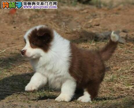 怒江州纯种高品质边牧幼犬专业繁殖边境牧羊犬可送上门4