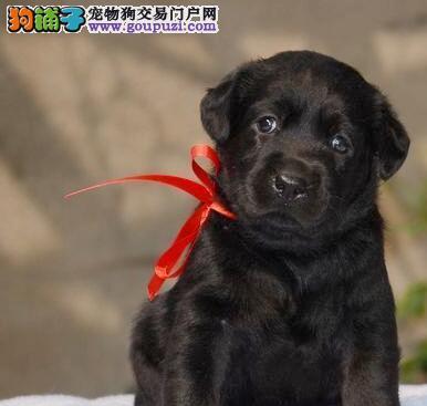 正规狗场出售高品质天津拉布拉多犬保证健康