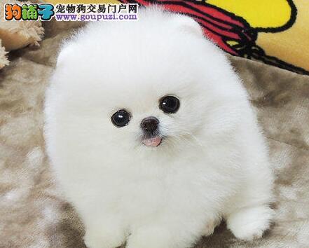 日喀则售纯种哈多利系博美犬幼犬 日本俊介 松鼠犬