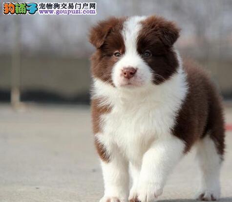 北京纯种高品质边牧幼犬 专业繁殖中型犬犬舍