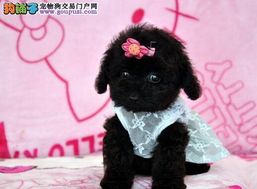 白领生活从萌宠泰迪开始 北京地区随时接受预定