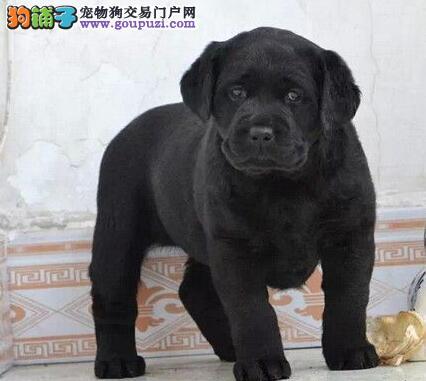 送狗粮送用品纯种拉布拉多 北京周边欢迎上门选狗