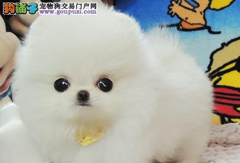 海口狗场出售纯种博美犬 随时电话咨询服务24小时