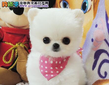 最顶级球体博美宝宝出售 三个月待售中 签订购犬协议