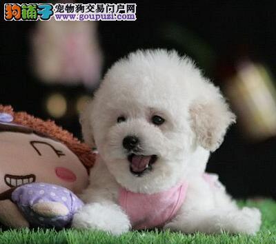 精品赛级泰迪犬、品质优良血统纯正、签订正规合同