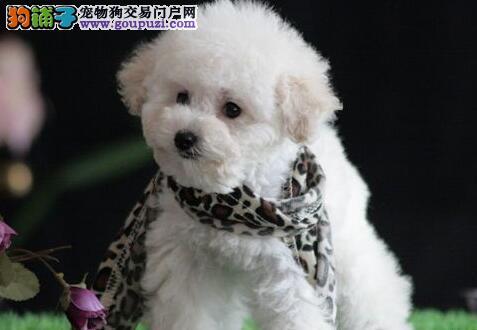 精品赛级泰迪犬、品质优良血统纯正、签订正规合同3