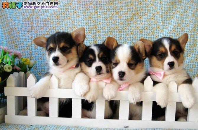 济南顶级威尔士 纯种柯基犬幼犬 赛级健康 签订协议