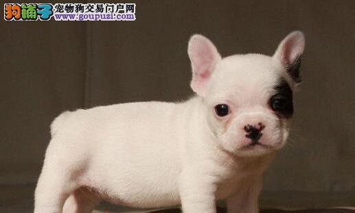北京引进精品法国斗牛犬 奶油虎班黑白花法牛犬出售图片