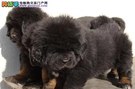 爆毛量大骨骼的西宁藏獒幼崽热卖中 可当场检查健康
