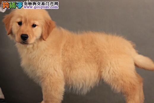 纯种金毛幼犬出售 大骨架多只可选 售后有保障 欢迎挑选4