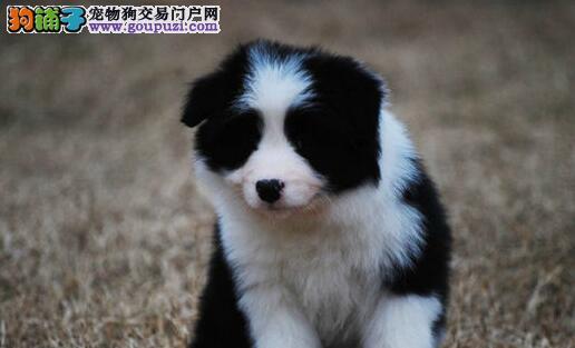 天津纯种边牧幼犬七白三通双血统基地繁殖包健康有公母