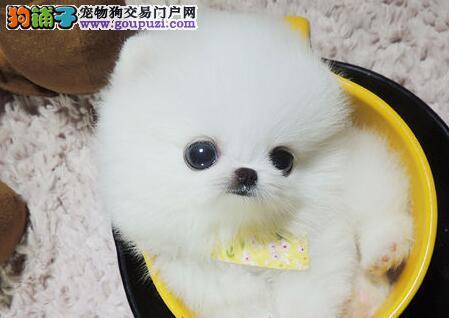 广州售球体博美哈多利系博美 纯种俊介犬 松鼠犬