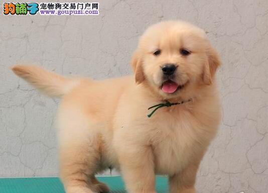 深圳养殖场直销金毛犬 包纯种健康 可签保障协议