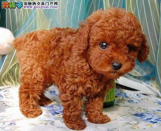 出售韩版超小体德州泰迪犬不掉毛乖巧懂事3